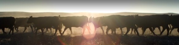 cows_sunset_600px